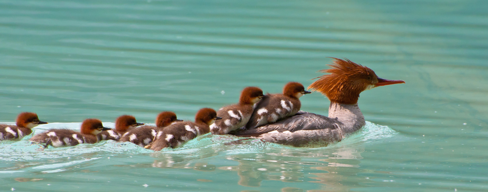 baby ducks climbing up onto a large duck swimming in a pond