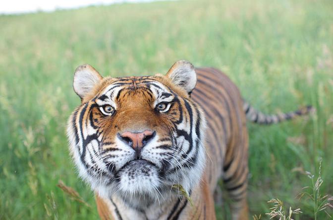 Wild Animal Sanctuary tiger