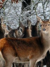 a bunch of deer in a snowy forest