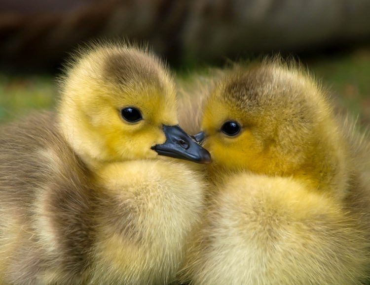 ducks at petting zoo