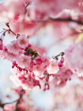 closeup of Cherry blossoms
